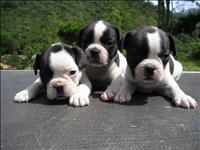Bull dog frances lindos filhotes