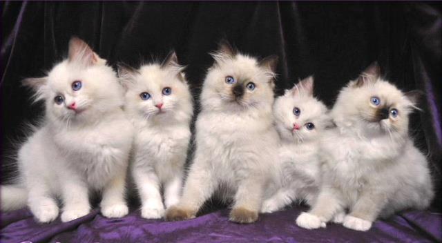 Ragdoll lindos gatinhos