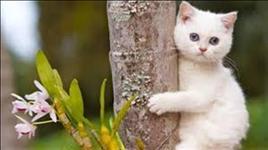 American shorthair lindos gatinhos