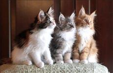 Maine coon lindos gatinhos