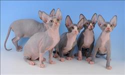 Sphynx lindos gatinhos