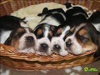 Basset hound lindos filhotes