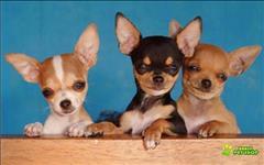 Chihuahua pelo curto lindos