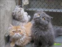 Persa lindos gatinhos