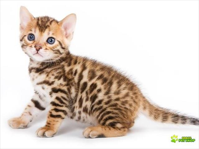 Bengal lindos gatinhos