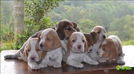 Beagle fêmea e macho filhotes lindos filhotes