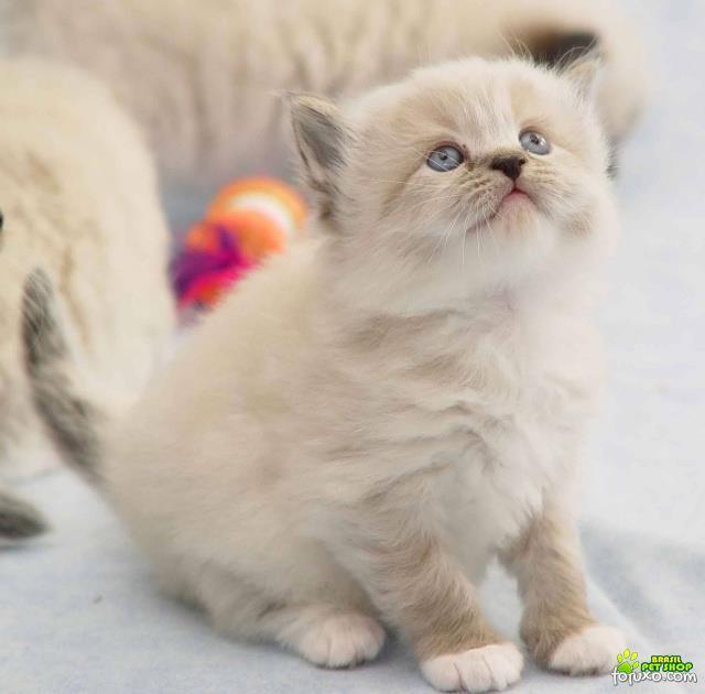 Gato ragdoll lindos gatinhos