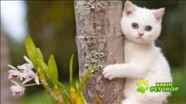 British shorthair lindos filhotes