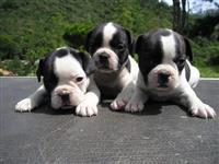 Filhotes de Bull dogue francês