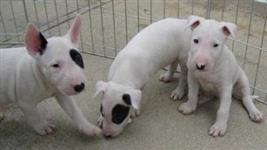 filhotes lindos de Bull Dogue Terrier