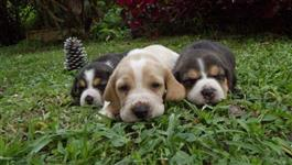 Filhotes lindos de Beagle