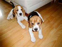 """""""Adoráveis Filhotes De Beagle"""""""