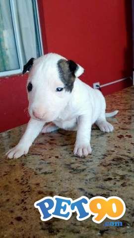"""""""Adoráveis Filhotes De Bull Terrier"""""""