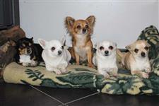 """""""Adoráveis Filhotes De Chihuahua Pelo Curto"""""""