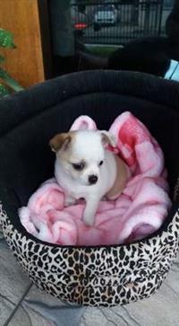 """""""Adoráveis Filhotes De Chihuahua Pelo Longo"""""""