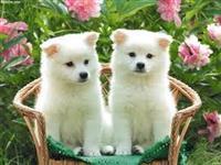 """Adoraveis"" Filhotes de Akita Inu"
