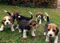 Filhotes Encantadores de Beagle