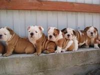 Filhotes encantadores de Bull Dogue Inglês