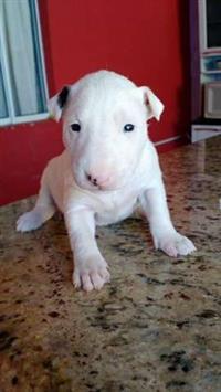 Filhotes encantadores de Bull Terrier