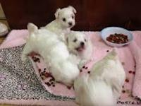 Filhotes encantadores de Chihuahua pelo longo