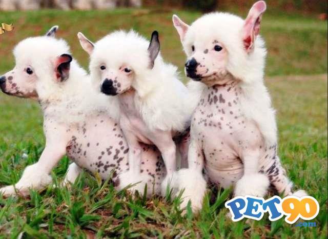 Filhotes encantadores de Cão de Crista