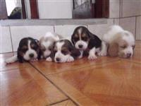 Filhotes de Basset Hound