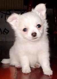 Filhotes de Chihuahua pelo longo