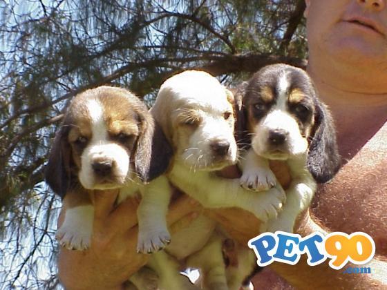Filhotes Graciosos de Basset hound