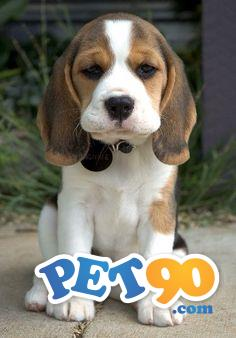 Filhotes Graciosos de Beagle