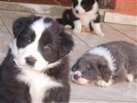 Filhotes Graciosos de Border Collie