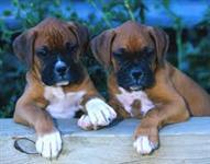 Filhotes Graciosos De Boxer
