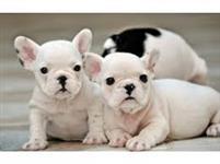 Filhotes Graciosos de Bull dogue Francês