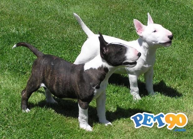 Filhotes Graciosos De Bull Terrier