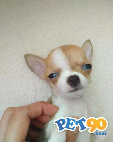 Filhotes Graciosos De Chihuahua Pelo Curto