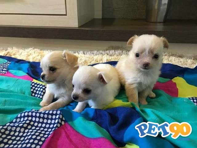 Filhotes Graciosos De Chihuahua Pelo longo