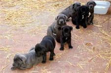 Filhotes Graciosos de Cane corso