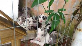 Filhotes graciosos de Dogue alemão