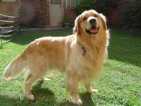 Filhotes graciosos de Golden Retriever