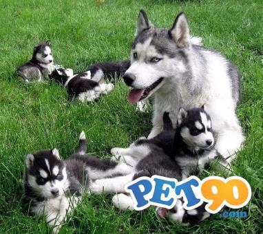 Filhotes graciosos de Husky Siberiano