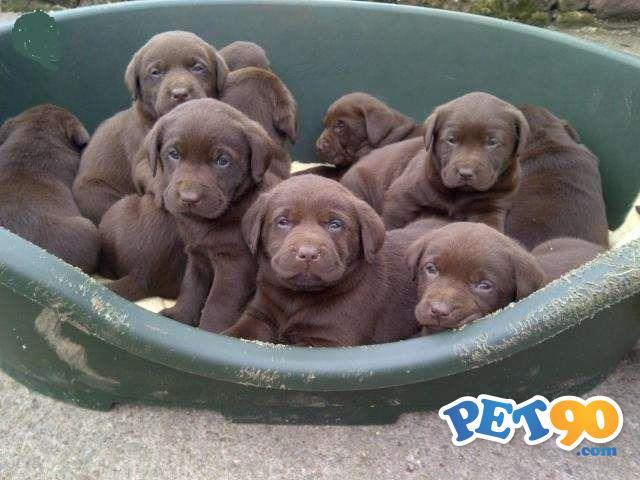Filhotes graciosos de Labrador Preto , amarelo e Chocolate