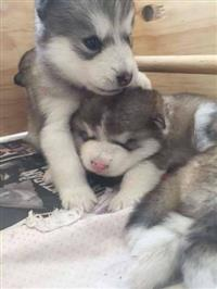 Filhotes graciosos de Malamute do alaska