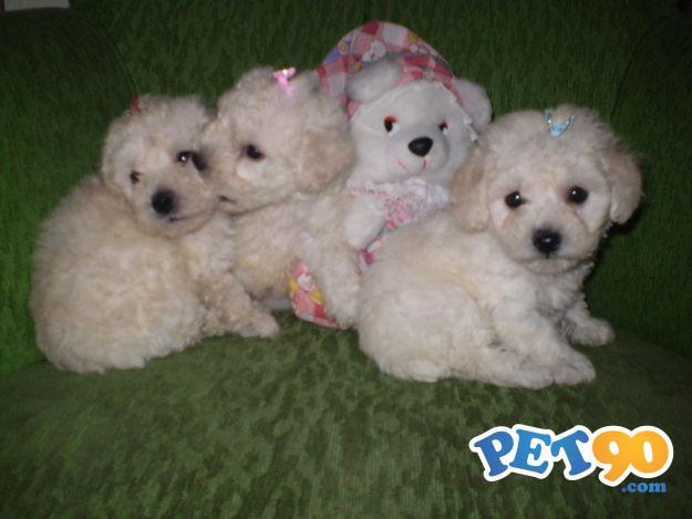 Filhotes Graciosos de Poodle
