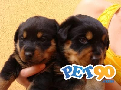 Filhotes graciosos de Rottweiler