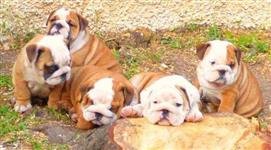 Lindos 4 bulldog ingles
