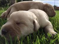 Cachorro labrador puro cor marrom 2 meses