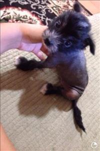 Lindo e exótico cão de crista chinês