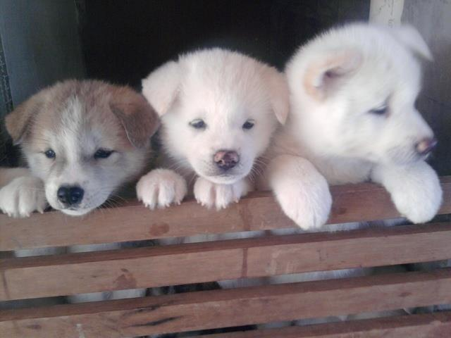 Akita inu lindos filhotes