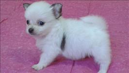 Chihuahua pelos longos