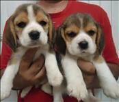 Beagle filhoteds