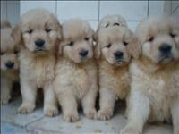 Golden filhotes